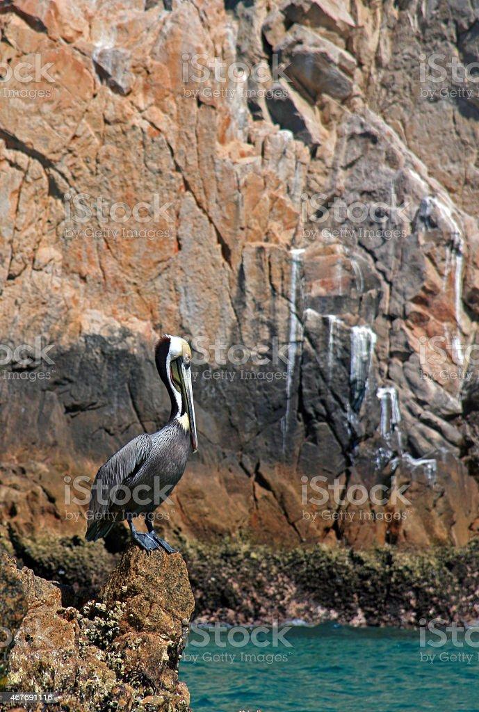 Pelicans in Cabo San Lucas stock photo
