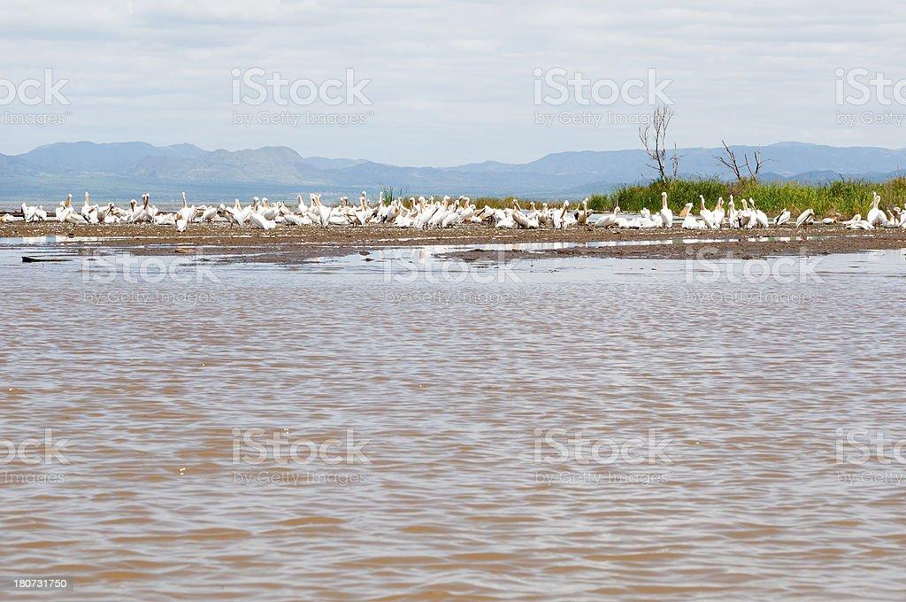 Pelicans in Ethiopia at Lake Chamo stock photo