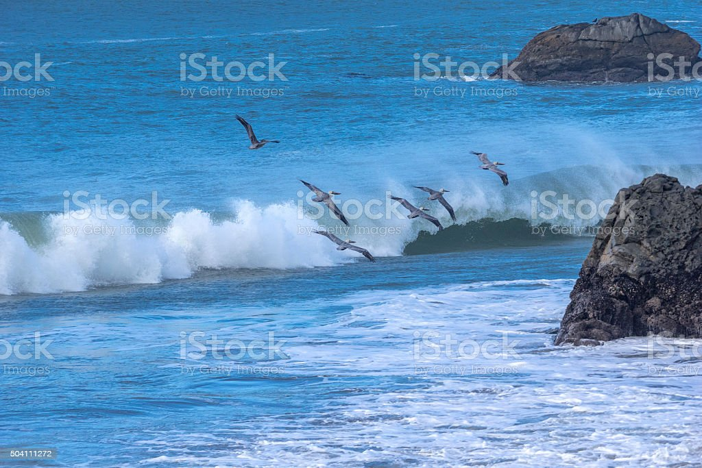 Pelican's in Flight Over Surf Harris Beach State Park Oregon stock photo