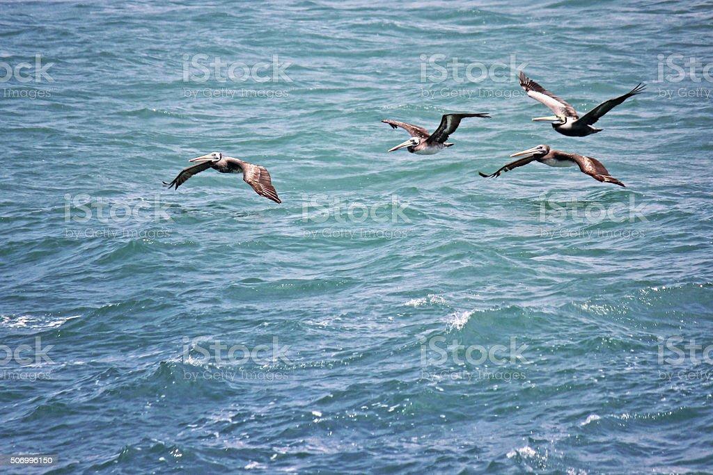 Pelicans in Flight stock photo