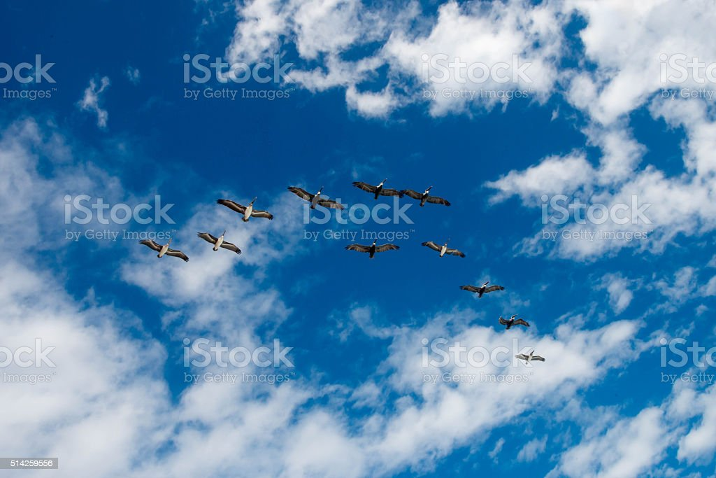 Pelicans in Formation stock photo