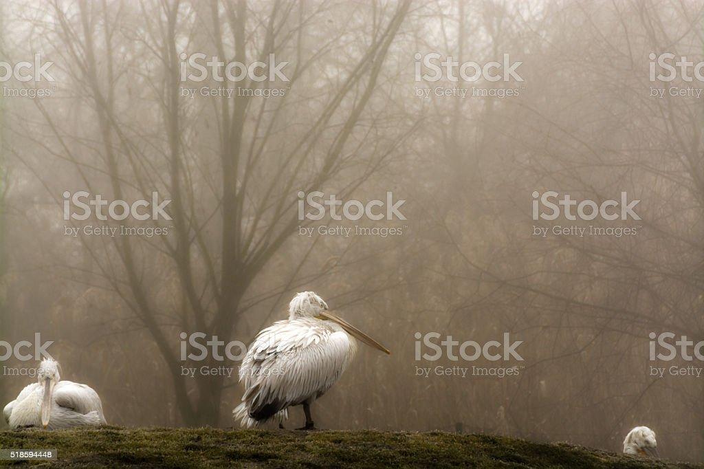 Pelicans in mist stock photo