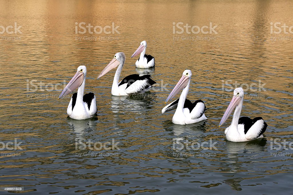 Pelicans in the Morning stock photo
