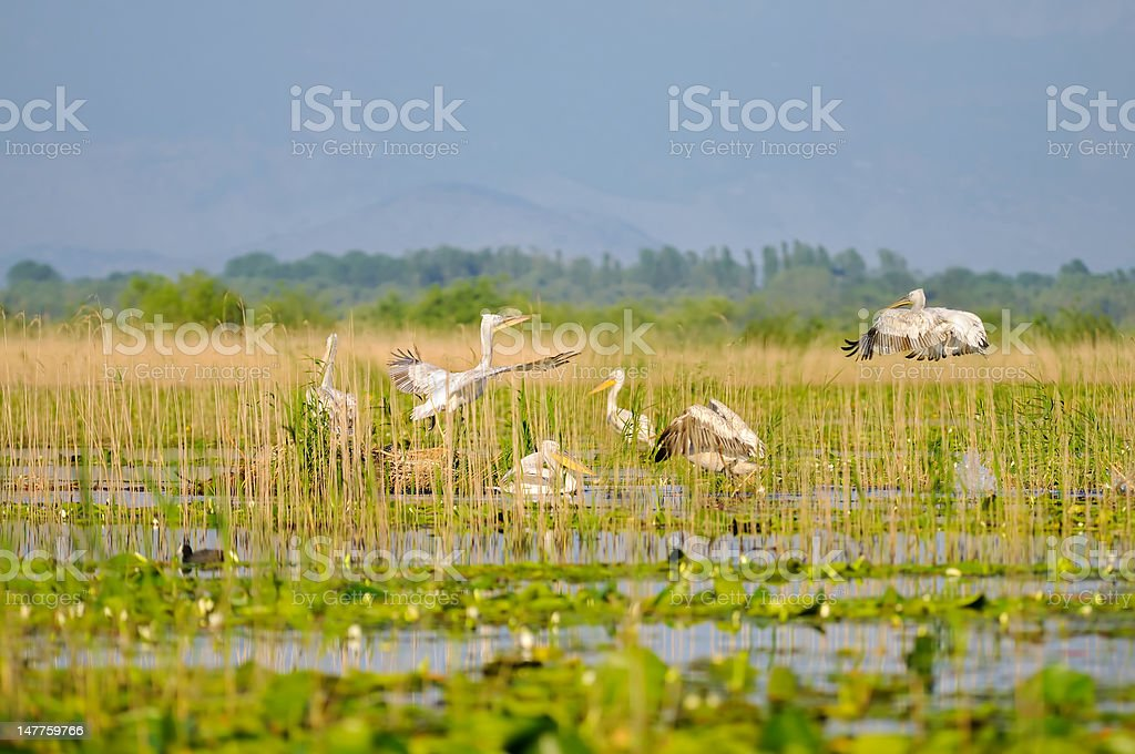 Pelicans in the wild stock photo