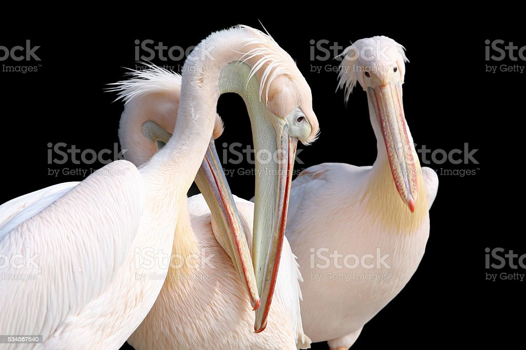 Pelicans isolated on black stock photo