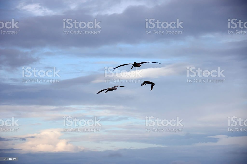Pelicans messengers royalty-free stock photo