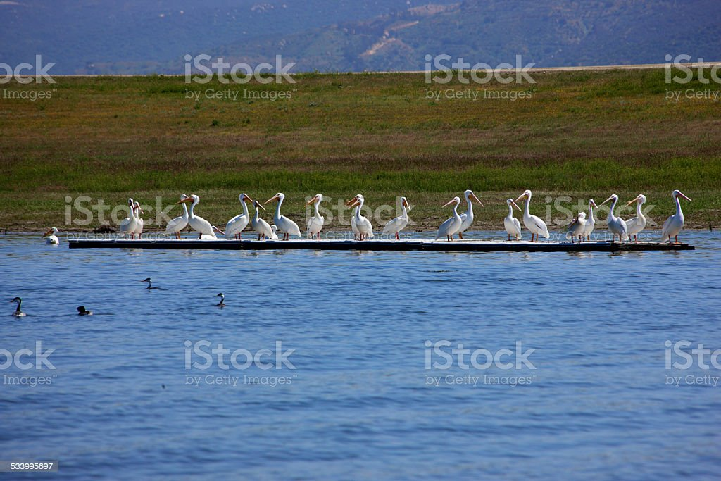 Pelicans on lake stock photo