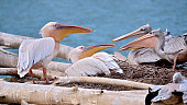 Pelicans on nest
