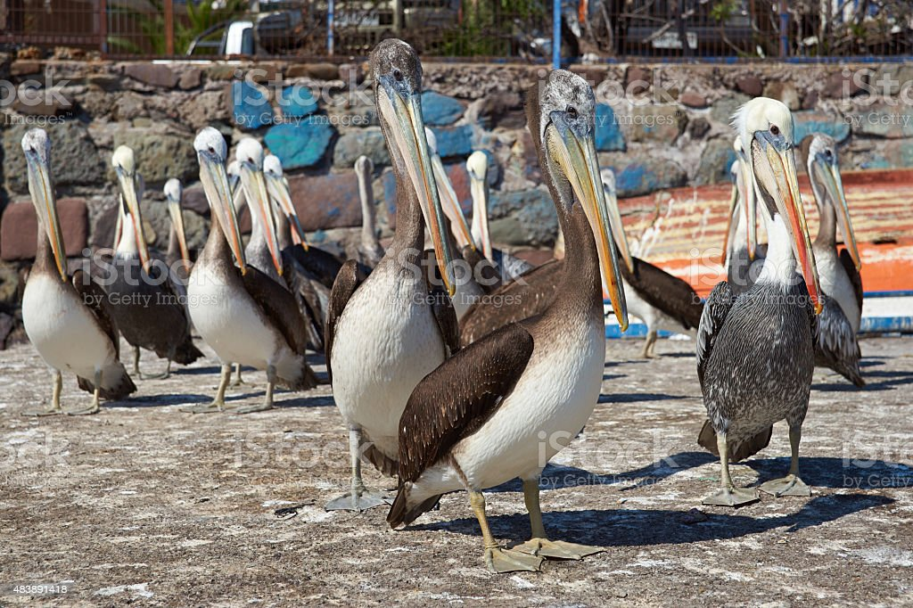 Pelicans on the Dockside stock photo