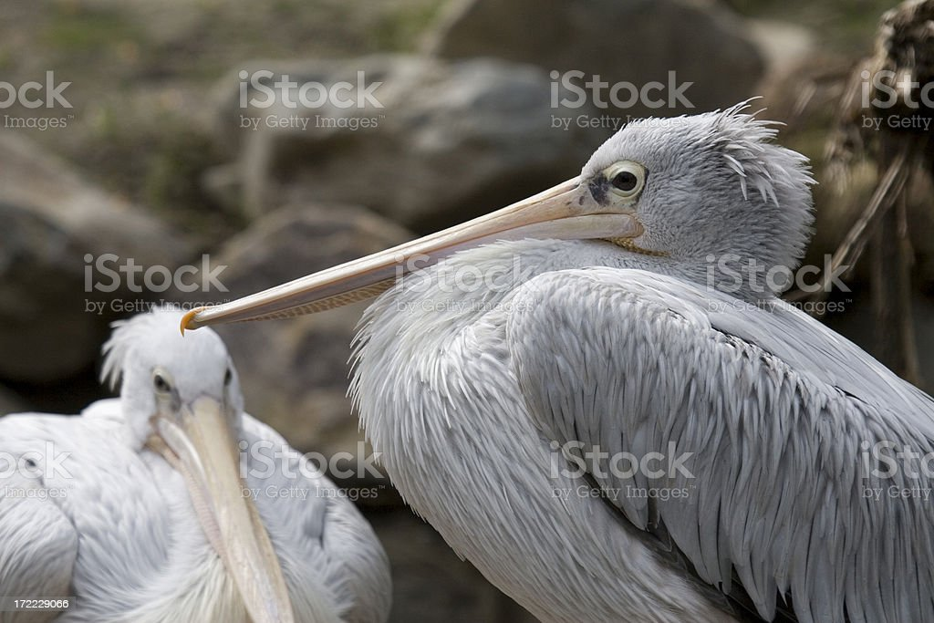 Pelicans on their nest stock photo