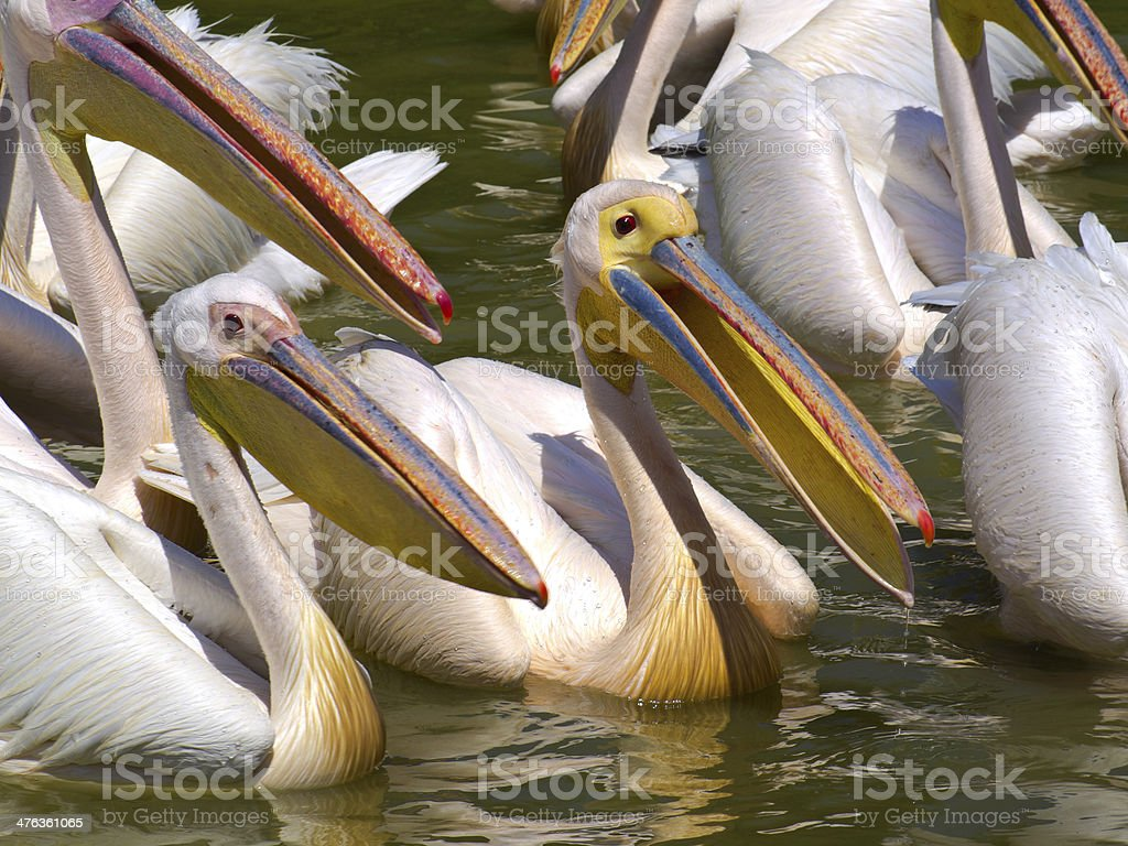 Pelicans on Ziwai royalty-free stock photo