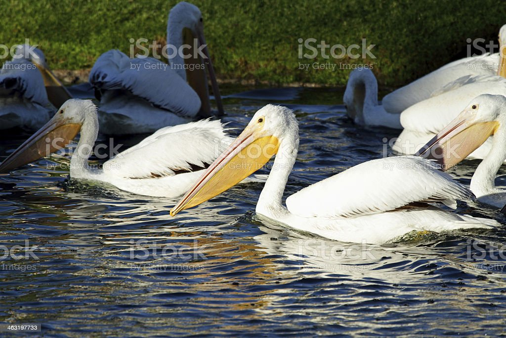 Pelicans royalty-free stock photo
