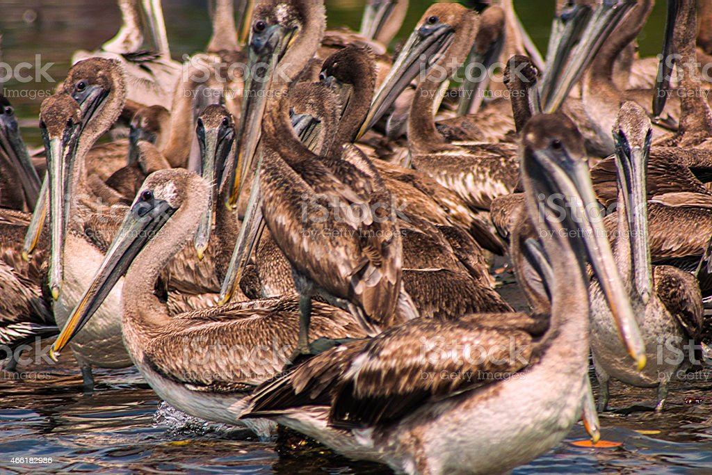 Pelicanos stock photo