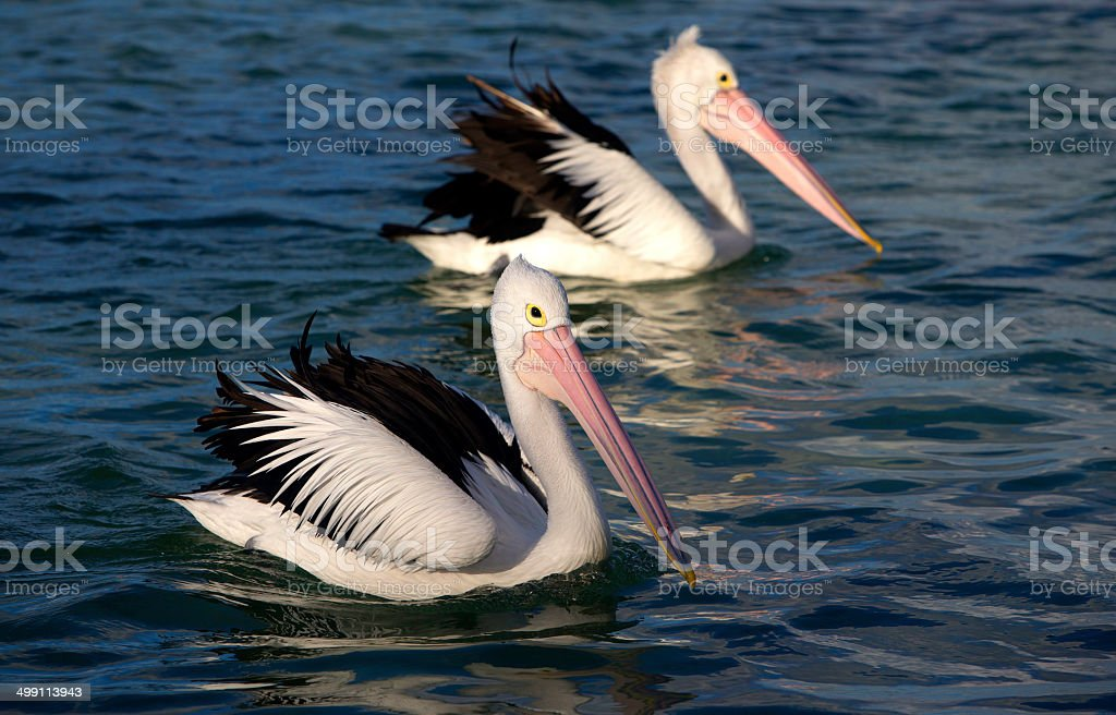Pelicans (Pelecanus conspicillatus) royalty-free stock photo