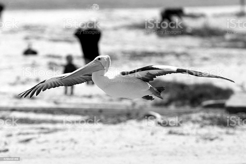Pelicans (Pelecanus conspicillatus) royalty-free stock photo