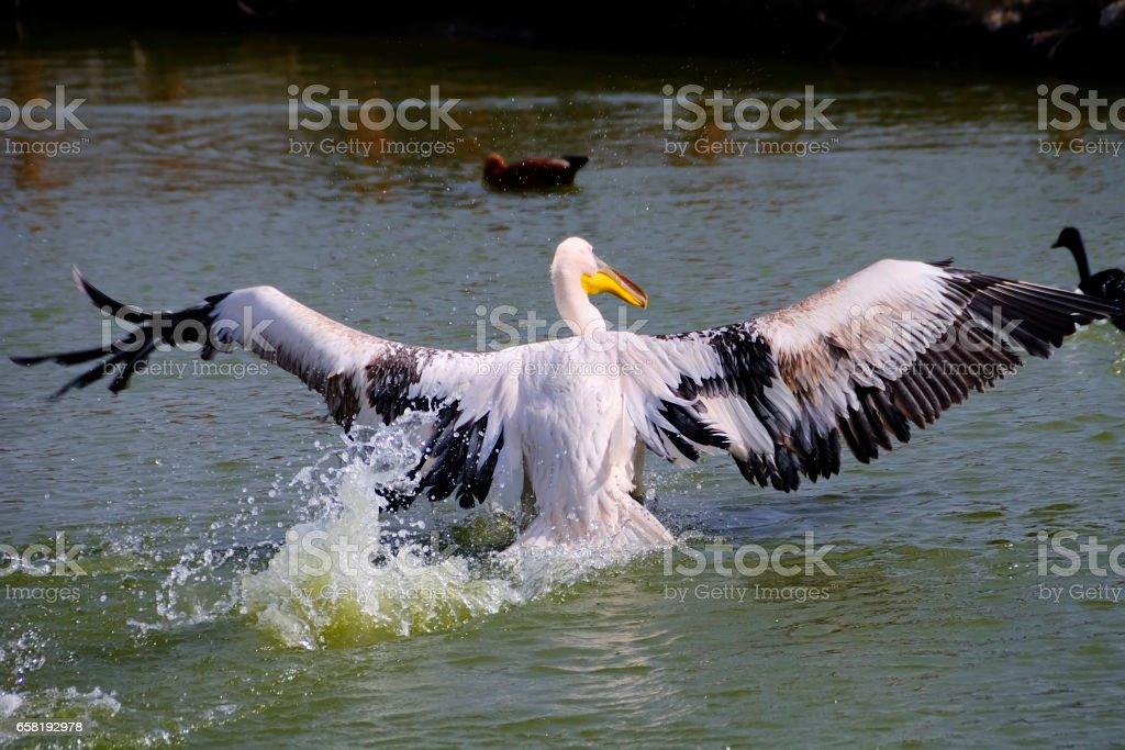 Pelicans. stock photo