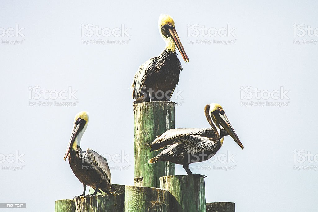 Pelicans resting at dock. royalty-free stock photo