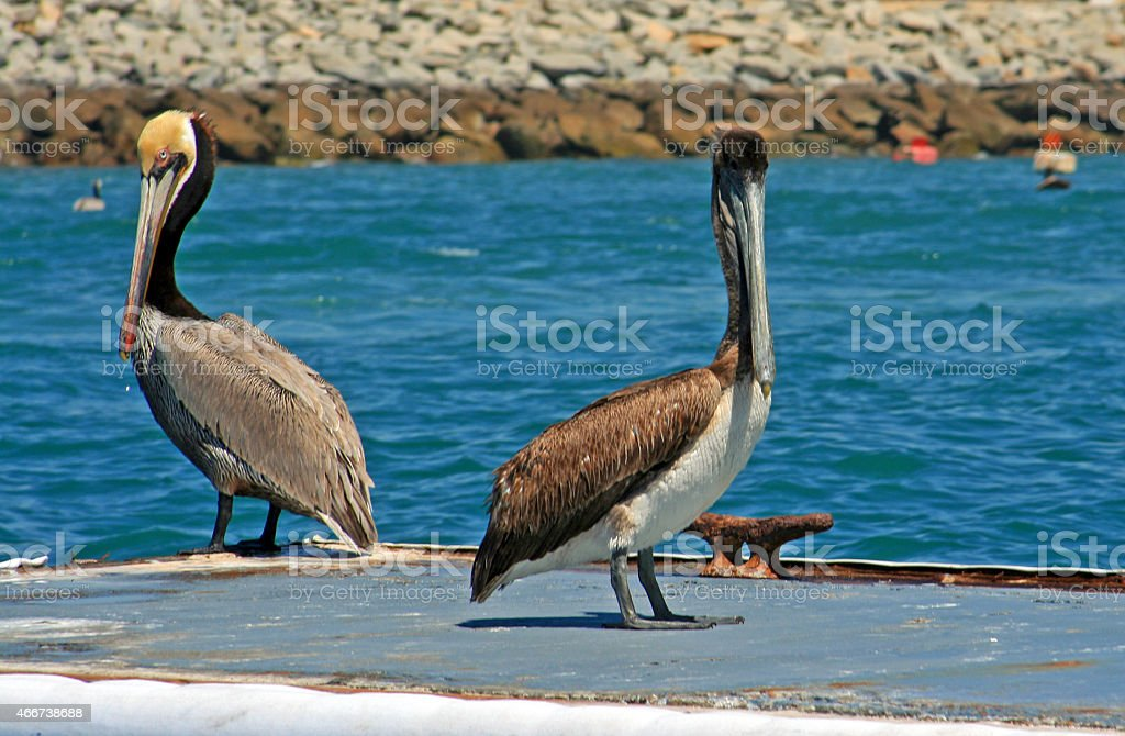 Pelicans resting on boat dock in Cabo San Lucas harbor stock photo