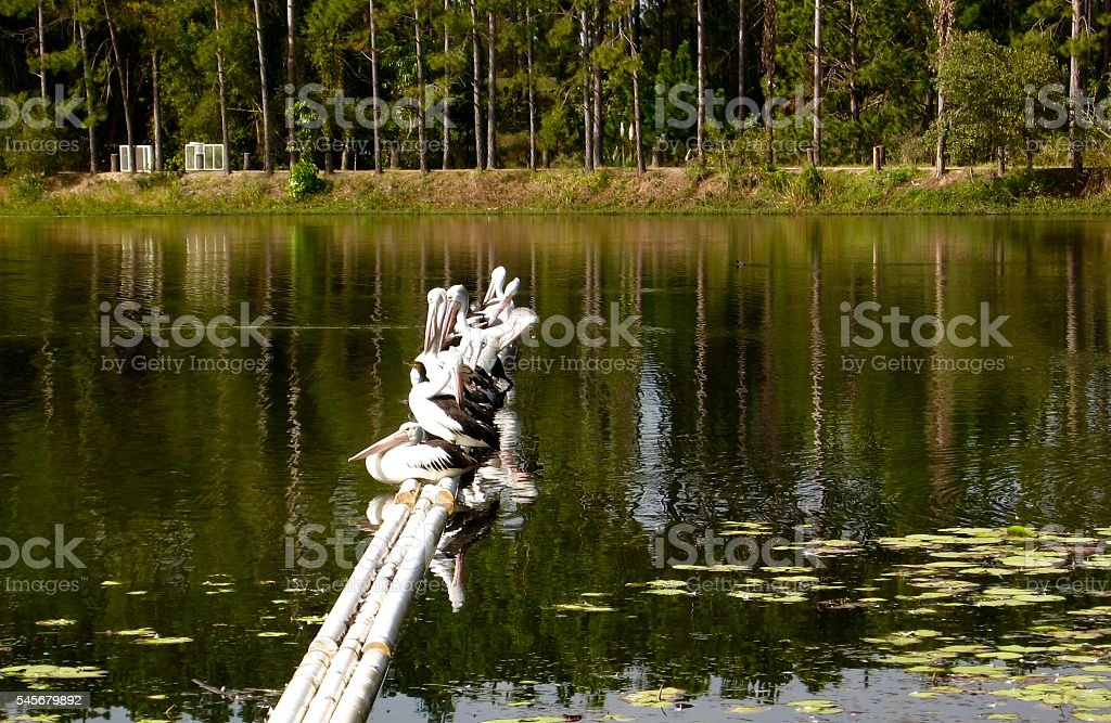 Pelicans Resting stock photo