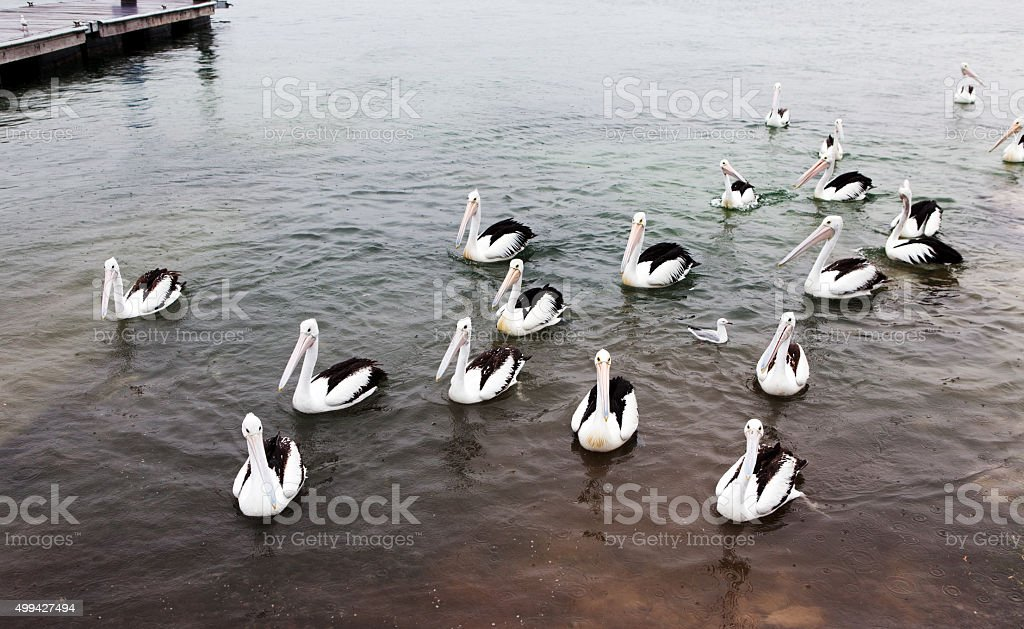 Pelicans Standing in Water stock photo