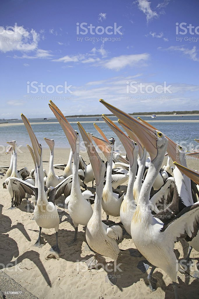 Pelicans waiting for food royalty-free stock photo