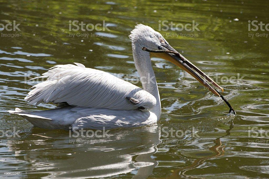 Pelikan im Wasser stock photo