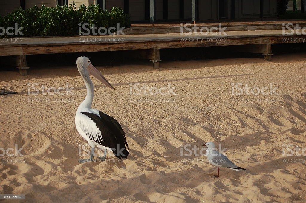Pelikan und Möwe stock photo