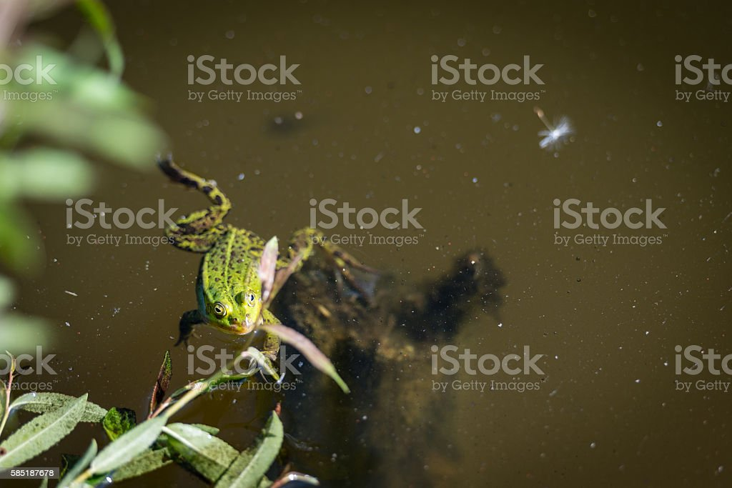 Pelophylax perezi. Green frog in pond stock photo