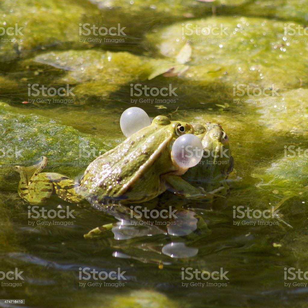 Pelophylax stock photo