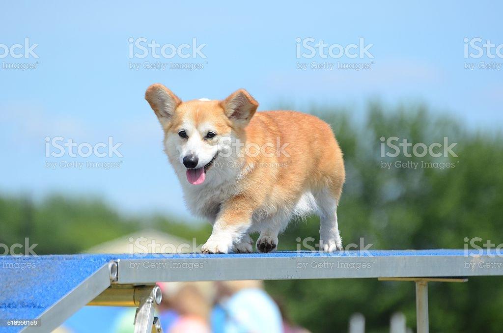 Pembroke Welch Corgi at a Dog Agility Trial stock photo