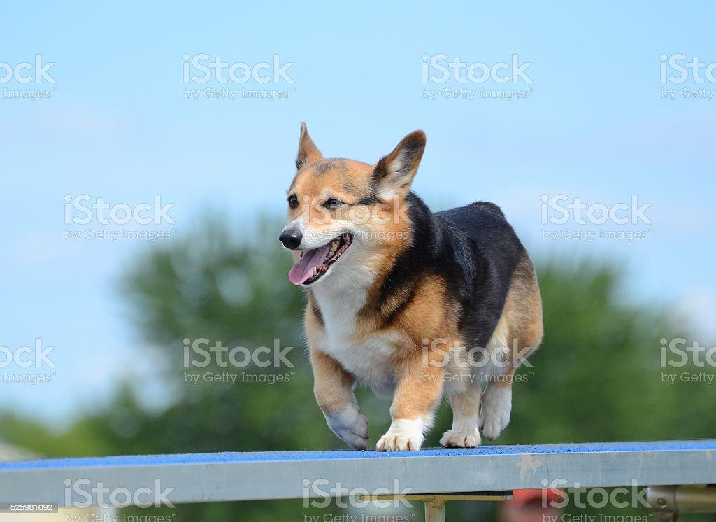 Pembroke Welsh Corgi at a Dog Agility Trial stock photo
