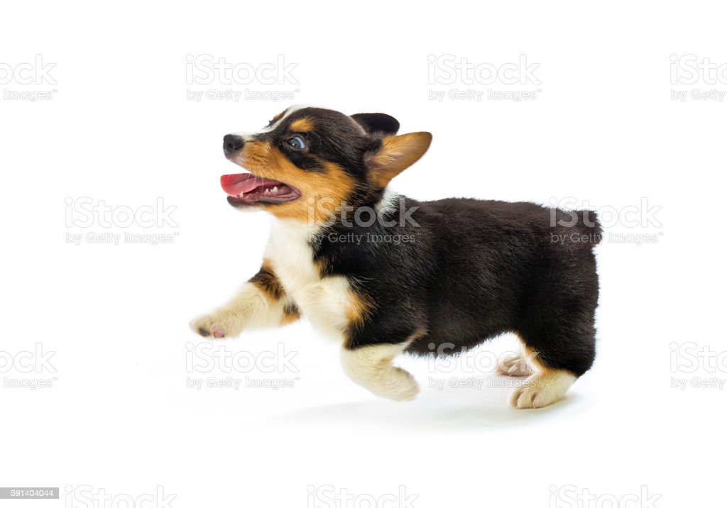 Pembroke Welsh Corgi Purebred Puppy Running Pose on White Background stock photo