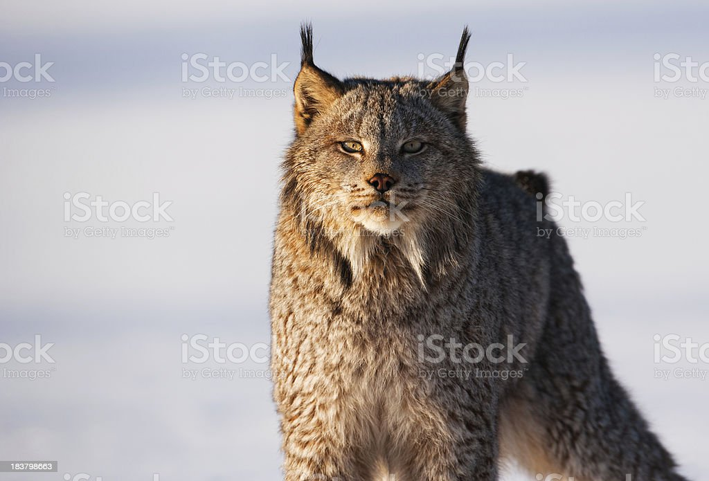 Penetrating stare of a Canadian Lynx in snowy wilderness. royalty-free stock photo