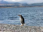 Penguin and the sea - Isla Martillo, Ushuaia