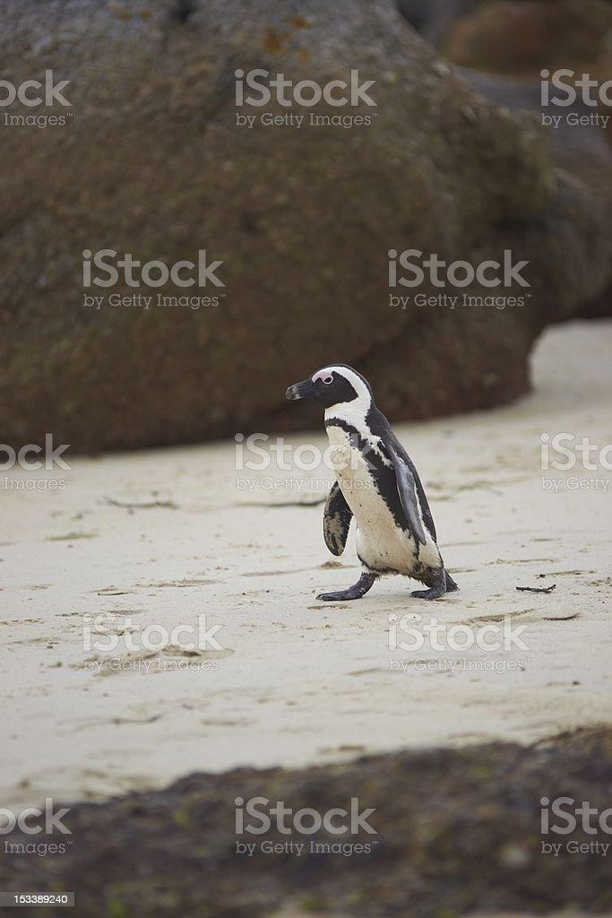 Penguin Beach royalty-free stock photo