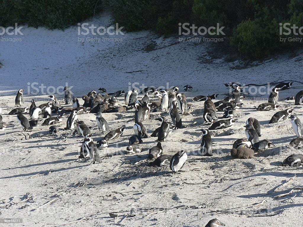 Penguin breeding colony royalty-free stock photo