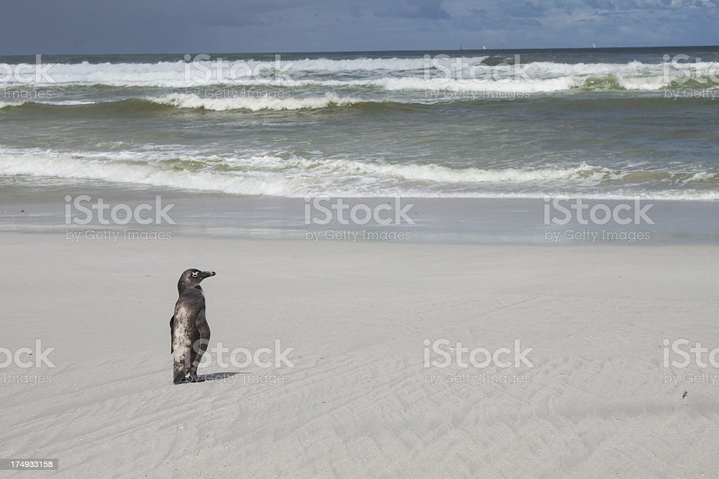 penguin by the ocean royalty-free stock photo
