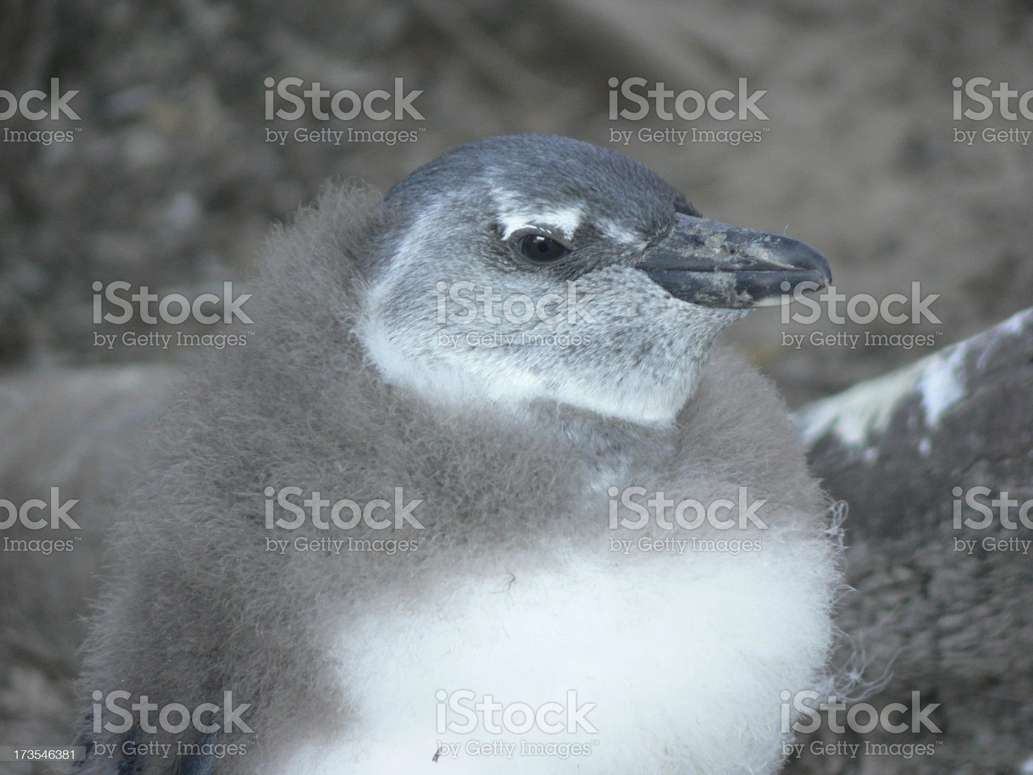 Penguin chick royalty-free stock photo