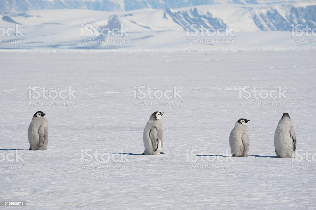 Penguin Chicks and Mountains stock photo