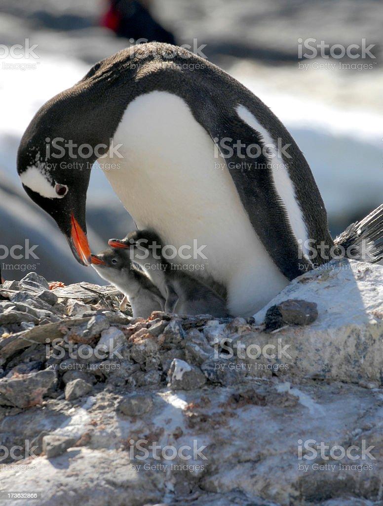 Penguin chicks royalty-free stock photo