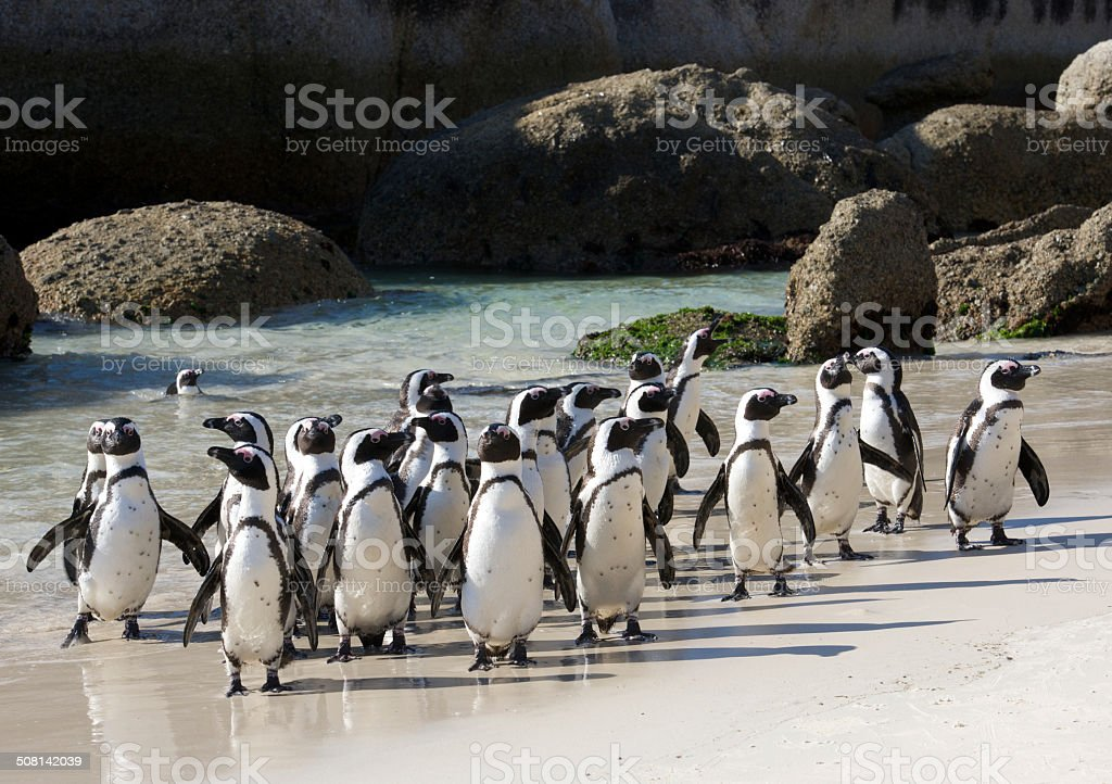 Penguin colony crowded stock photo