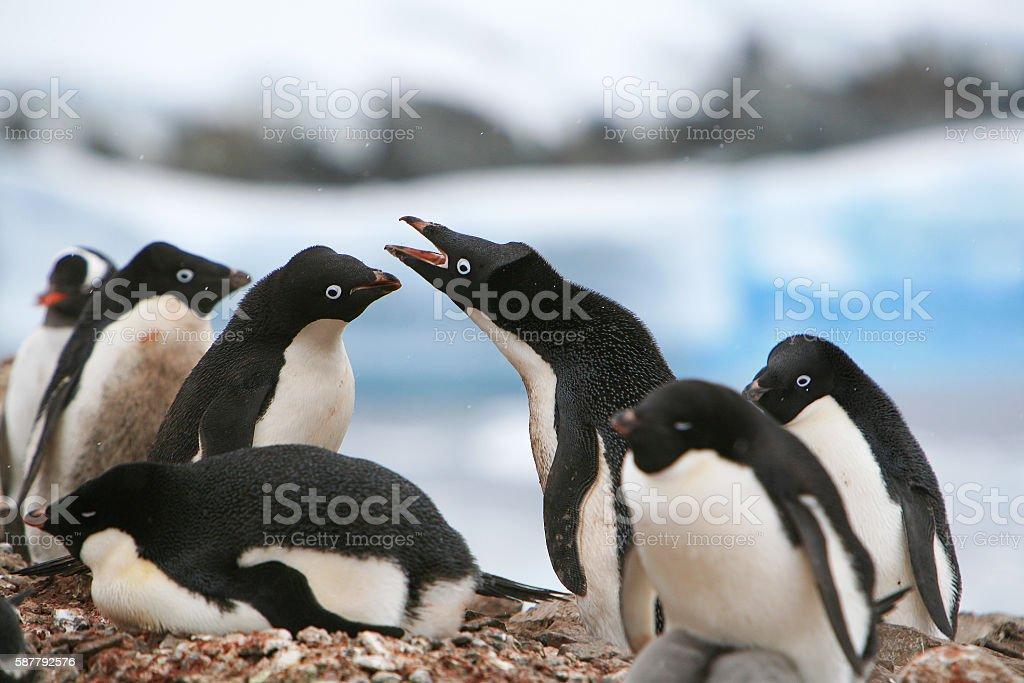 Penguin colony nesting in Petermann Island, Antarctic Peninsula stock photo