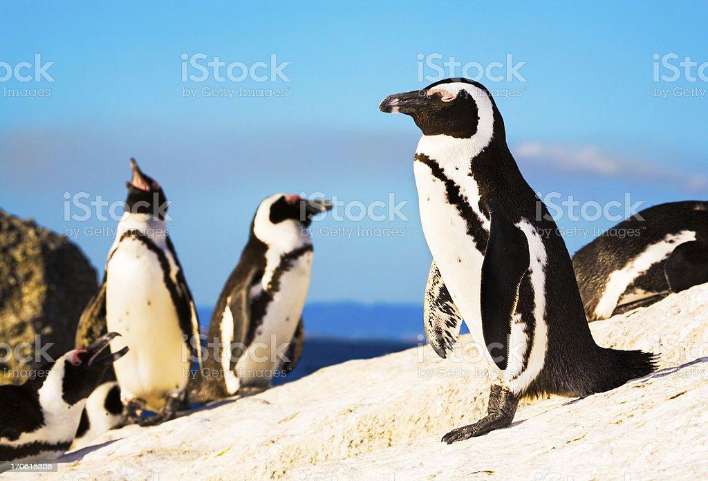 Penguin colony royalty-free stock photo