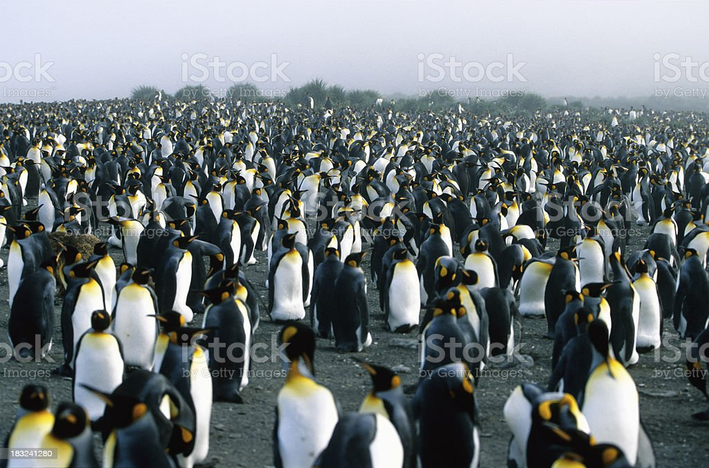 Penguin Colony royalty-free stock photo