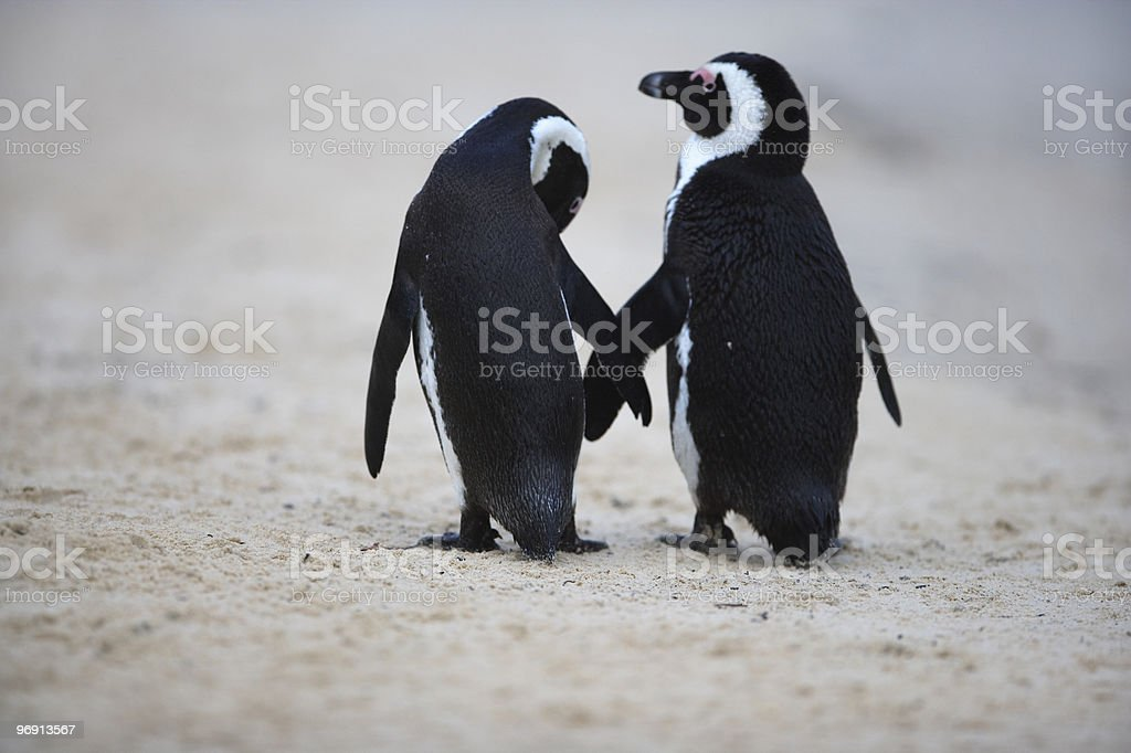 Penguin couple on a South African beach [t] stock photo