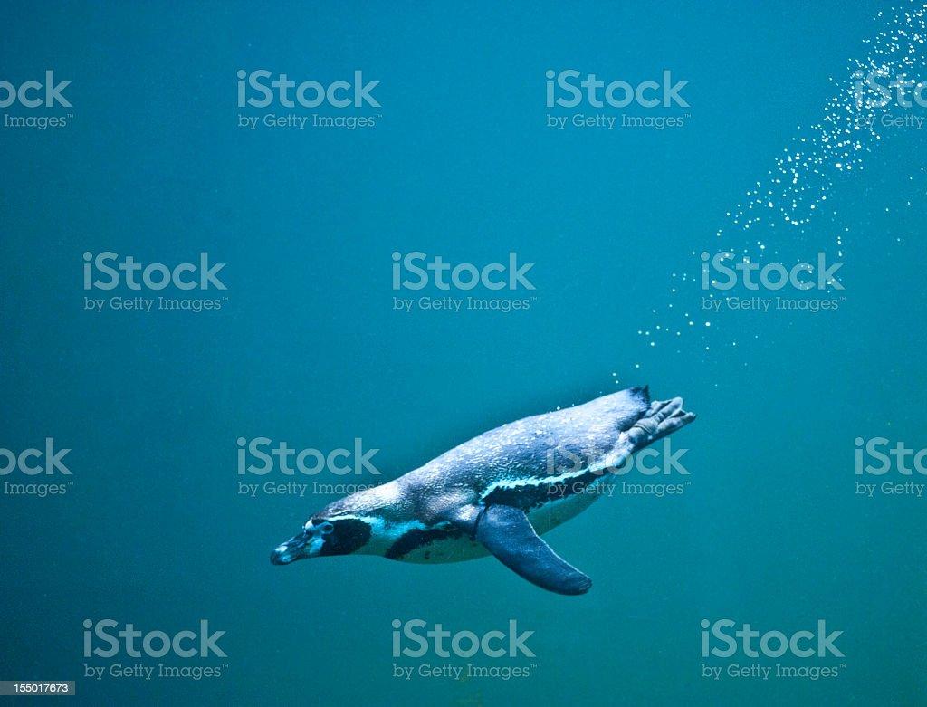 Penguin diving in ocean stock photo