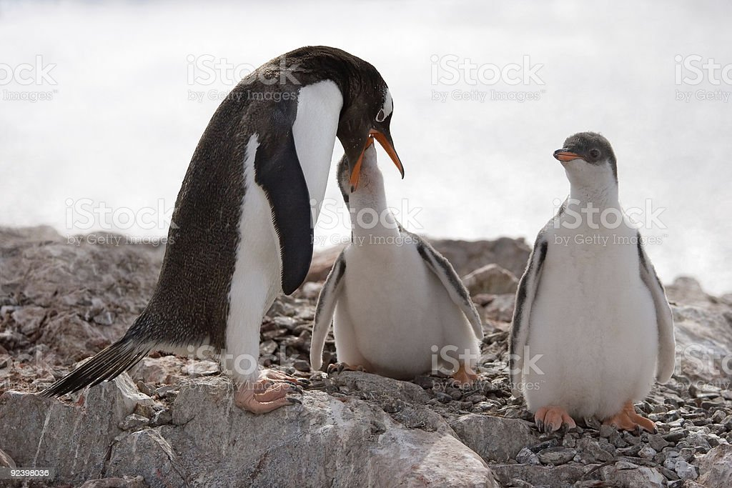 penguin feeding cue royalty-free stock photo