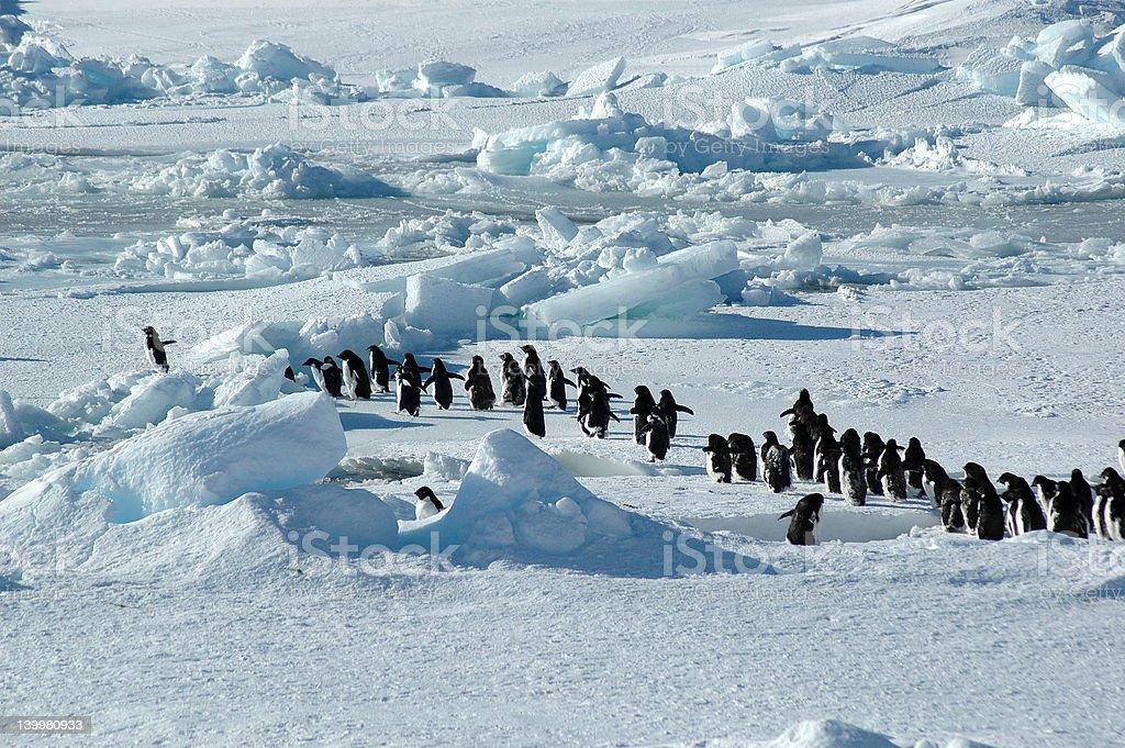 ペンギングループのリーダー ロイヤリティフリーストックフォト
