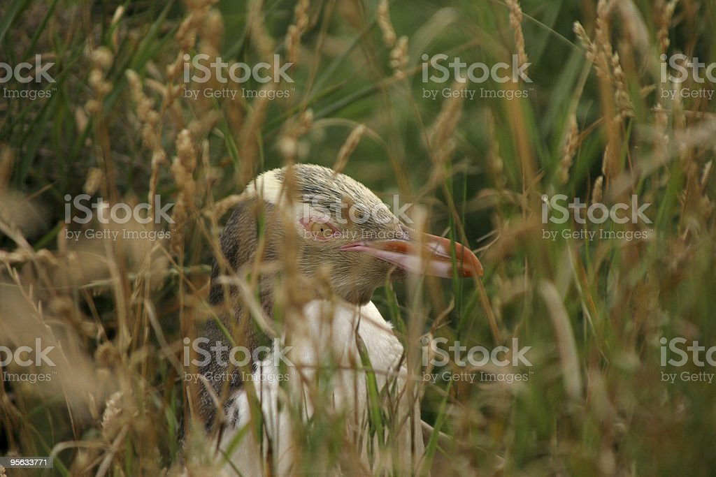 Penguin in the long grass stock photo