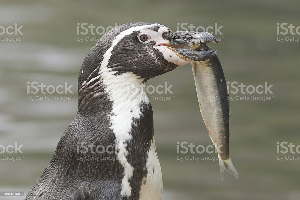 Penguin is eating a large fish stock photo